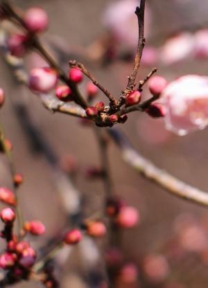 plum-blossom-662136_1920